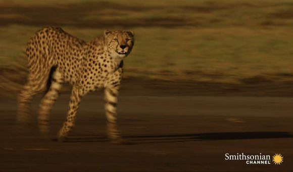 Preview thumbnail for video'Watch a Determined Cheetah Mother Search for Her Lost Cubs