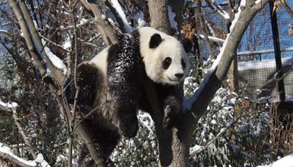 Snow Day for Tai Shan