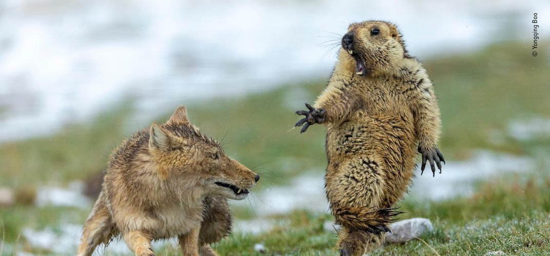 Caption: See Wildlife Photographer of the Year Winners