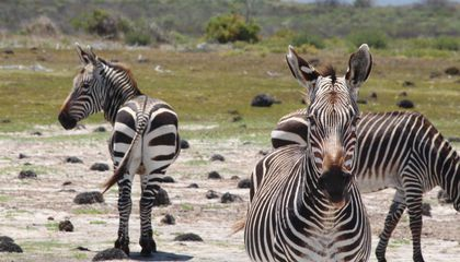 How Stressed Out Are Zebras? Just Ask Their Poop