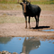 A muddy wildebeest has found rare water in the Kalahari.