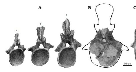 Tail vertebrae