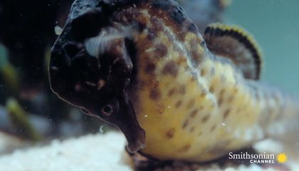 Watch a Male Seahorse Give Birth to Hundreds of Babies
