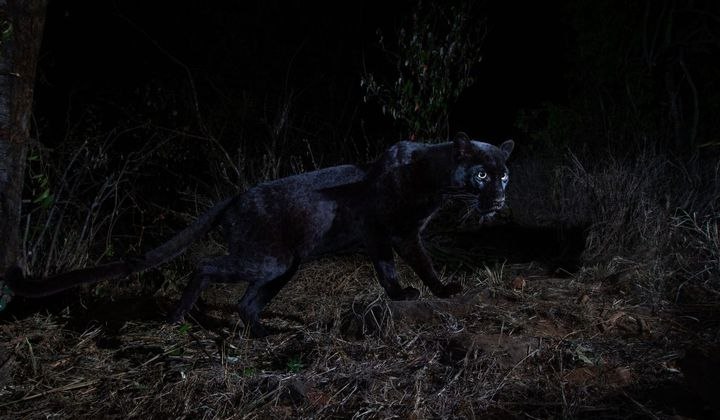 Rare African Black Leopard Photographed