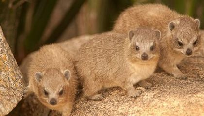 What in the World is a Rock Hyrax?