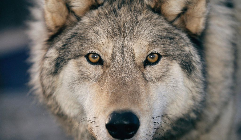 The gray wolf or timber wolf's range includes Alaska and parts of Michigan, Wisconsin, Montana, Idaho, Oregon and Wyoming. Adults can devour 20 pounds of meat in one sitting.