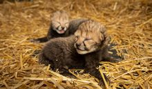 In a First, Cheetah Cubs Born Through Surrogacy at the Columbus Zoo