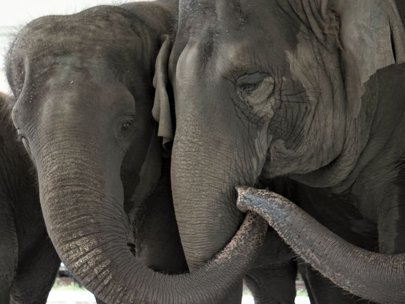 A close up of two elephants with their trunks touching