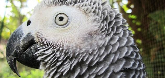 A new study reveals that the African grey parrot is capable of abstract reasoning.