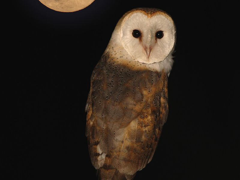 Barn Owl by moon