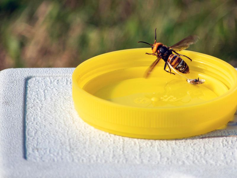 A live Asian giant hornet flutters but is unable to fly away as a tracking device placed by a researcher dangles behind near Blaine, Washington