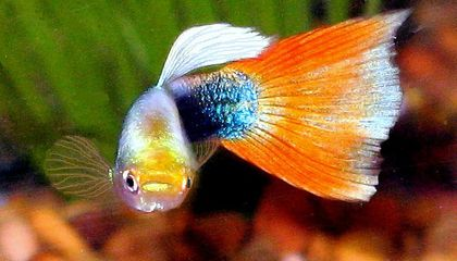 Why Guppies Seem to Have a Death Wish