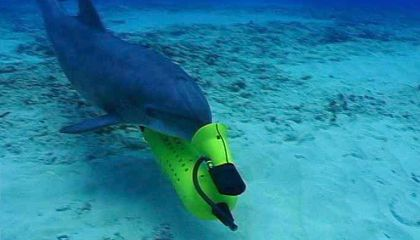 Mexico Will Use Dolphins to Herd the Endangered Vaquita to Safety