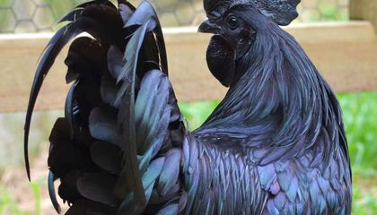 These Chickens Have Jet Black Hearts, Beaks and Bones