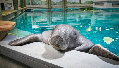 Snooty, World's Oldest Captive Manatee, Dies in Accident