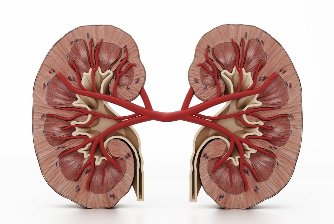Top Five Myths About Human Kidneys Science Smithsonian Magazine