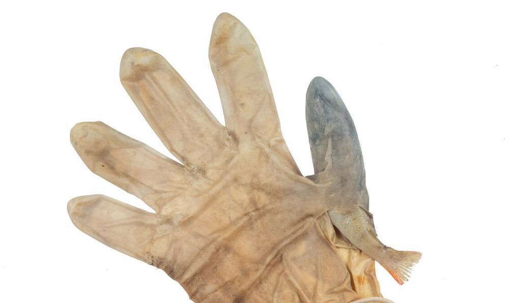 In August 2020 during a plastic clean up of the canals in Leiden, Netherlands, volunteers came upon a small European perch <i>(Perca fluviatilis)</i> wedged inside of the thumb of a disposable latex glove.