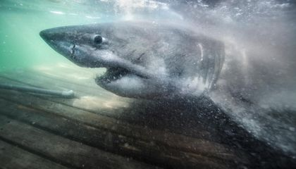 Researchers Catch and Tag 17-Foot 'Matriarch of the Sea,' a 50-Year-Old Great White Shark