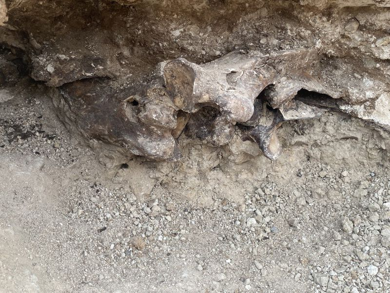 Part of an Ice Age animal's leg juts out from layers of fossilized vegetation