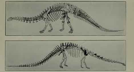 The reconstructed skeleton of