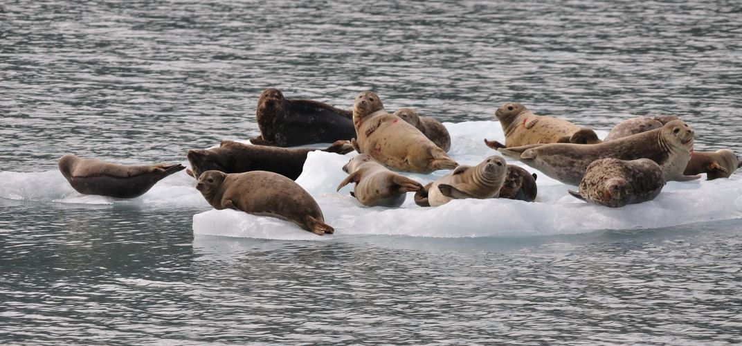 Seals lounging on an ice berg