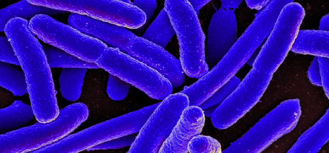 Caption: Scientists Create E. Coli With Synthetic Genome