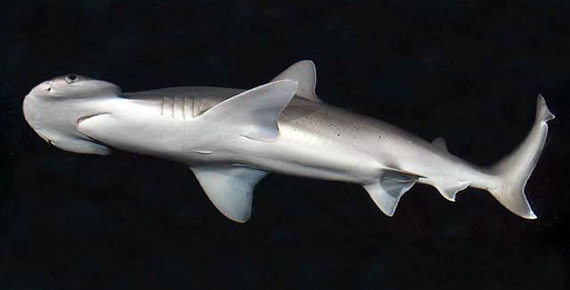 Vegetarian Sharks? First Omnivorous Species Discovered Off US Coast