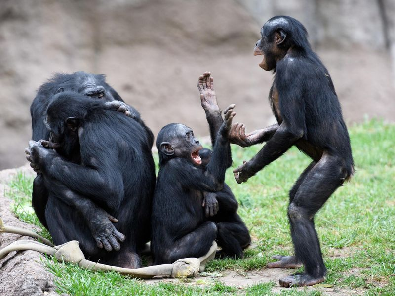Why Humans Are the Only Primates Capable of Talking