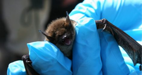 A little brown bat with symptoms of white-nose syndrome