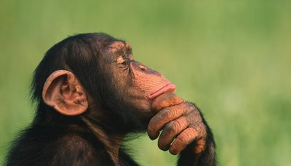 Female Chimps More Likely Than Males to Hunt With Tools