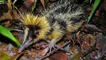 Defensive Spines on Tenrecs Could Come at a Cost to Brain Size