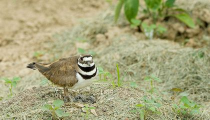 A Nesting Bird Nearly Derailed a Canadian Music Festival