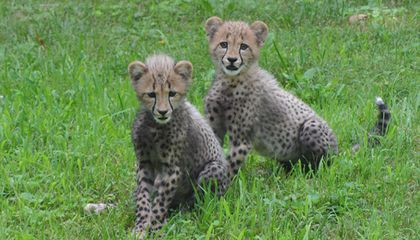 VIDEO: Baby Cheetahs Frolic at the Zoo