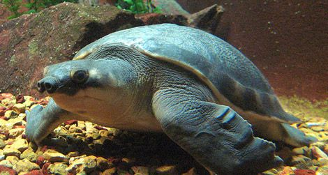 A pig-nosed turtle at the Shedd Aquarium