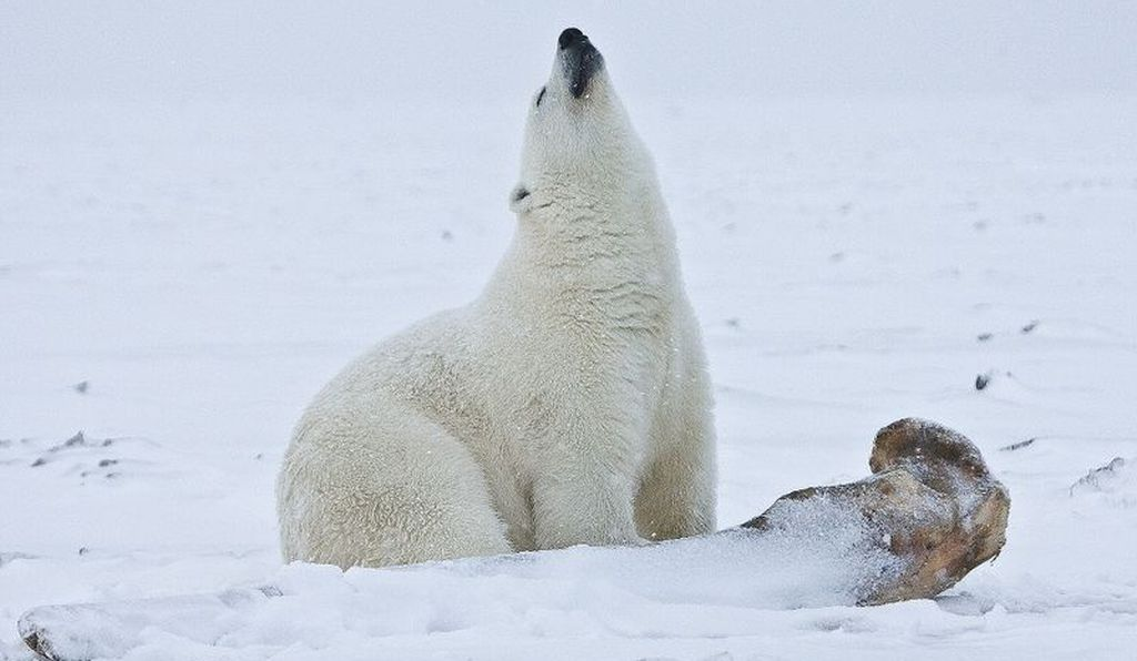 Even though PCBs were banned in the U.S. in 1979, they still linger in the environment today and may impact polar bear fertility.
