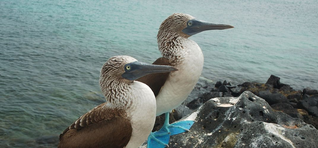 A pair of blue-footed boobies
