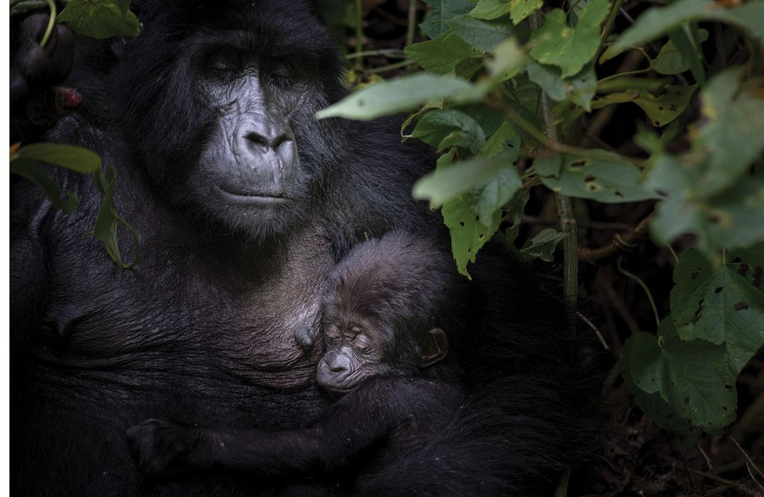 Rotary, an 11-year-old female in Bwindi Impenetrable National Park, with her 3-month-old infant.