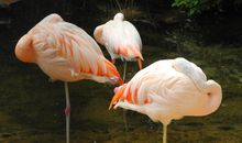 How Do Flamingos Stay Stable On One Leg?