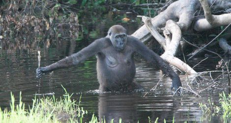 A gorilla in the Congo wading in a swamp
