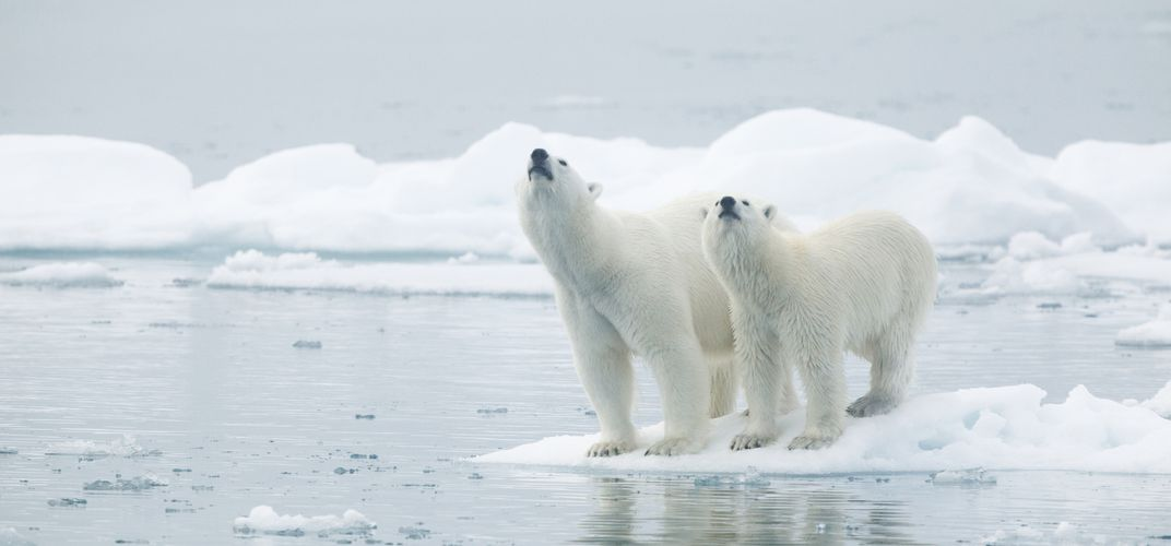 Polar bears in Norway's arctic landscape