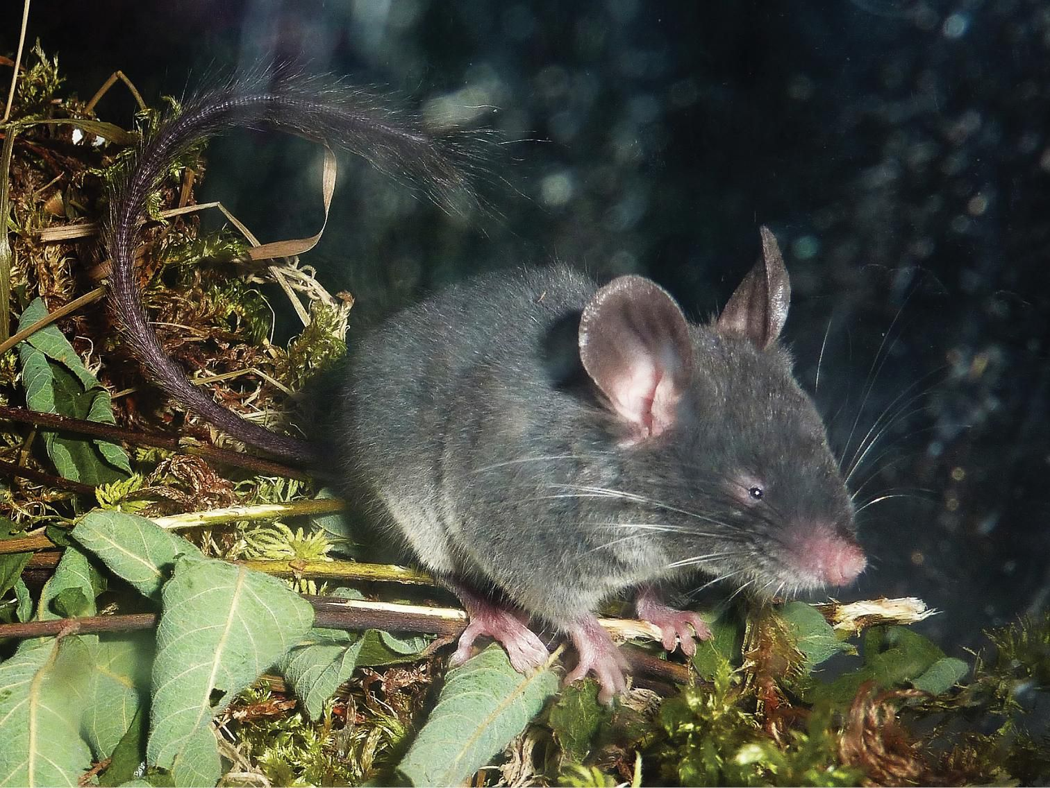 This Echolocating Dormouse Could Reveal the Origins of One