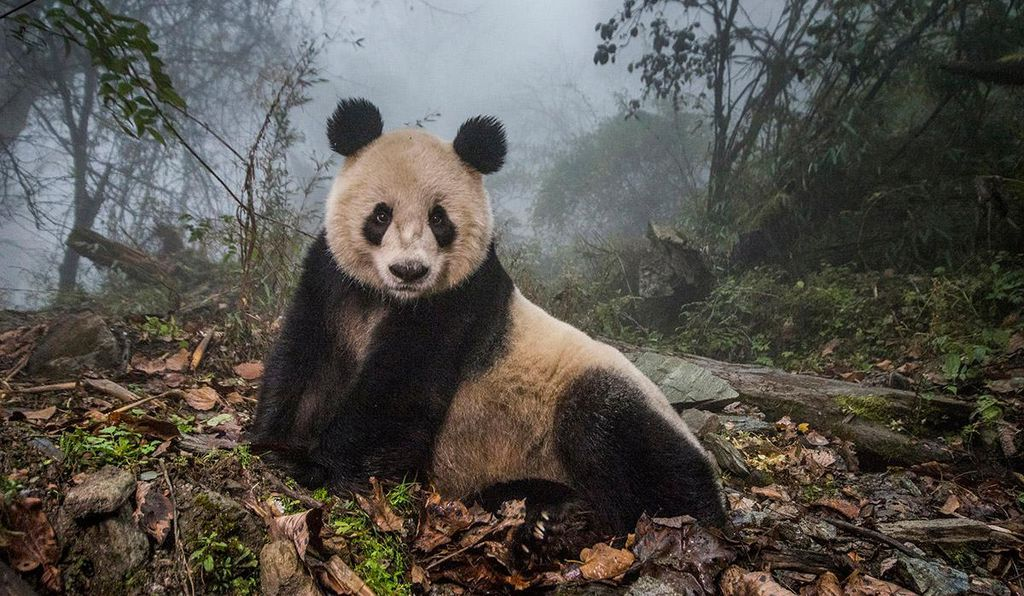 Ye Ye, a 16-year-old giant panda, at a conservation center in Wolong Nature Reserve in China