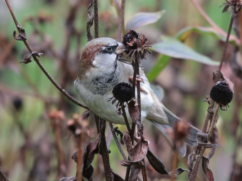 A close up photo of a house sparrow sitting on a dried up branch. The bird is mostly has white feathers with a patch of brown covering its head and a patch of black feathers encircling its eye.