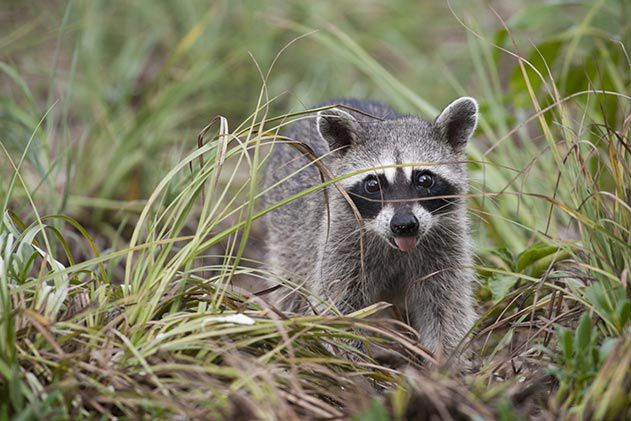 Pygmy raccoon