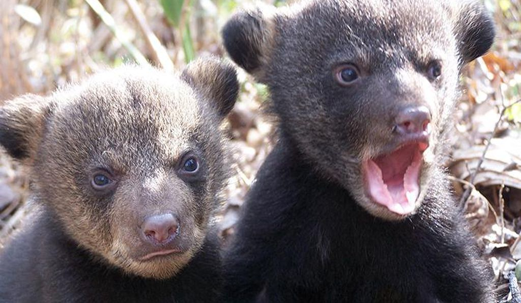 As part of the plan to resurrect Louisiana black bears to the previous status, state wildlife programs have monitored when mothers and cubs, like the ones above, have moved into restored wetlands forests.