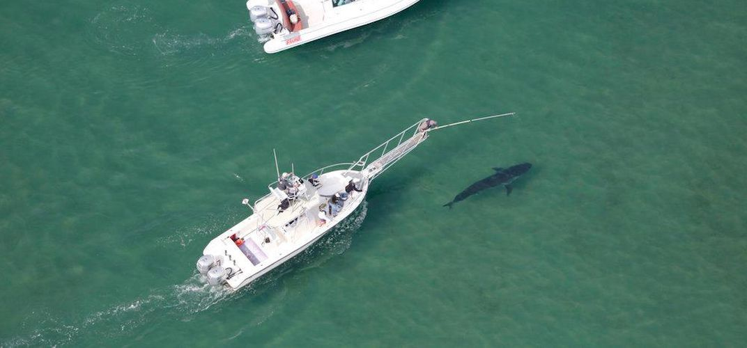 Caption: You Can Help Scientists Study Great White Sharks Off the Coast of Cape Cod