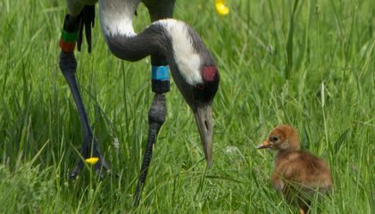Newly Hatched Crane Chicks Carry the Hopes of Britain on Their Shoulders