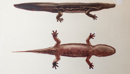 New Giant Salamander Species Is the World's Largest Amphibian