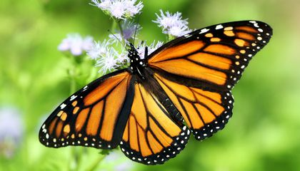Climate Change Is Decimating Monarch Populations, Research Shows
