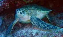 Green Sea Turtles Are No Longer Endangered in Florida and Mexico